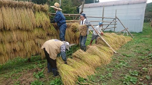 午後は束ねた稲をはせがけに。チームワークが大切です。