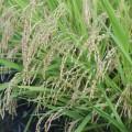 米川米の注文を承ります